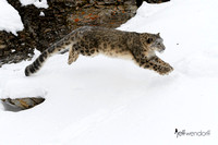 Leaping Snow Leopard