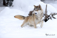A large wolf in winter