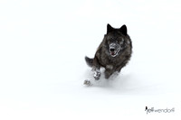 Black & White - Wolf  in Winter