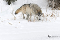 Tundra Wolf scenting th trail