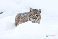 Bobcat in a Snow Drift