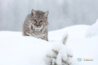 Bobcat in a Snow Storm