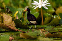 Wattled Jacana and Water Lilies in Panama