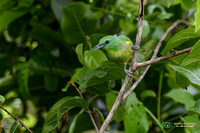Hunting Green Shrike-vireo in Gamboa Panama