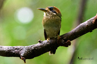 Tody Motmot (Male) in Panama