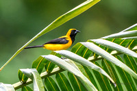 Yellow-backed Oriole in Panama