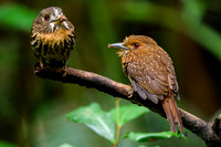 Pair of White-whiskered Puffbirds (Male Right) in Panama
