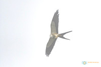 Swallow-tailed Kite - Eating a lizard on the fly