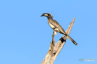 Grey Hornbill in Botswana