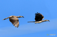 Pair of Grey Hornbill flying in Botswana