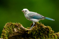 Blue-grey Tanager, Thraupis episcopus