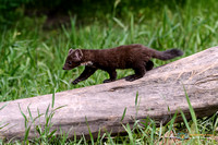 American Marten out for a stroll