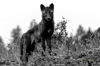 Alert Young Wolf - Black & White