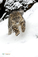 Lunging Snow Leopard (Juvenile) in the snow