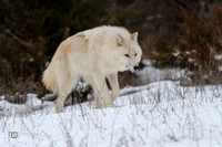 Arctic Wolf on the move in winter.