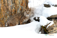 Winter Forest - Bobcat
