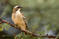 White-browed Sparrow-weaver in South Africa