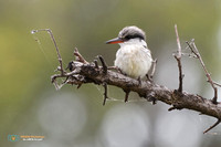 Striped Kingfisher in Botswana