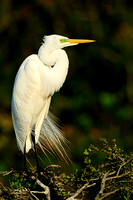 Great Egret, Ardea alba. Also Great White Egret