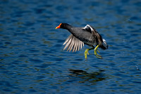 Rails and Coots - Rallidae