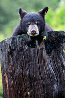 American Black Bear, Ursus americanus photographed by Jeff Wendorff