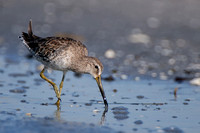 Long-billed Dowitcher, Limnodromus scolopaceus