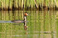 Grebes - Podicipedidae