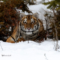 Tiger, Panthera tigris photographed by Jeff Wendorff