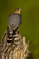 Merlin, Falco columbarius. Also known as Pigeon Hawk