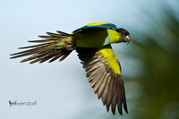 Black-hooded Parakeet, Nandayus nenday