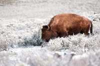 American Bison, Bison bison. Also Buffalo. Photographed by Jeff Wendorff