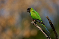 Blach-hooded Parakeet, Nandayus nenday