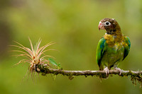 Brown-hooded Parrot, Pyrilia haematotis