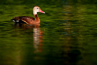Black-bellied Whistling-duck (Dendrocygna autumnalis). Also Black-bellied Tree Duck