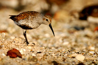 Dunlin, Calidris alpina. Also Red-backed Sandpiper