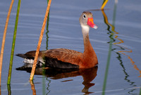 Black-bellied Whistling Duck, Dendrocygna autumnalis