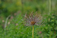 Yellow Salsify Seedpod