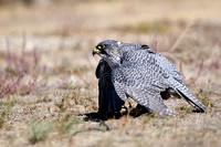 Gyrfalcon, Falco rusticolus photographed by Jeff Wendorff
