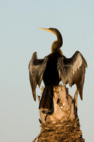 Photo of an Anhinga