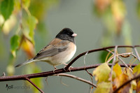 Dark-eyed Junco, Junco hyemalis oreganus