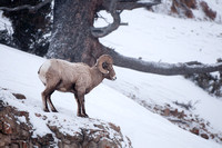 Big Horn Sheep - Caprinae