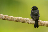 Variable Seedeater (Male) in Costa Rica