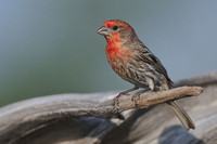 House Finch, Carpodacus mexicanus. Also Common House-finch, McGregor's House-finch, Guadalupe House-finch