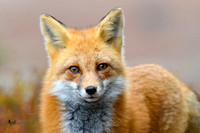 Curious Fox Portrait