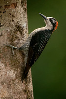 Black-cheeked Woodpecker, Melanerpes pucherani