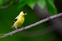 American Goldfinch, Cardenalis tristis