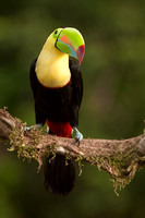 Keel-billed Toucan, Ramphastos sulfuratus. Also Sulfer-breasted or Rainbow-billed Toucan