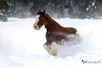 Horse Power - Clyedsdale in Snow