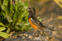 Spotted Towhee, Pipilo maculatus