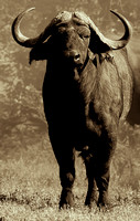 African Buffalo, Syncerus caffer. Also Cape Buffalo photographed by Jeff Wendorff